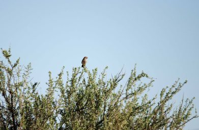 More Red Lark perched