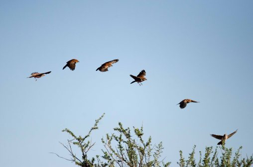 The end of a Red Lark display