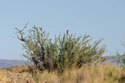 Typical Red Lark habitat complete with Red Lark