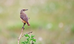 A female Sentinel Rock-thrush at Ossewakop