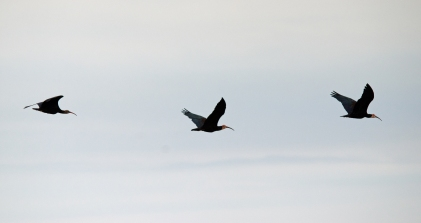 A Southern Bald Ibis on the move