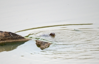 A record shot of Spot-necked Otter