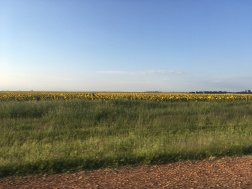 Sunflowers blooming in the North-west