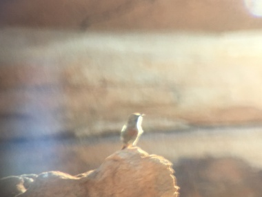 The world's worst digiscoped Cinnamon-breasted Warbler