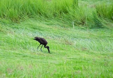 A foraging African Openbill