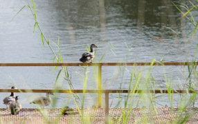 African Pygmy Goose outside out room
