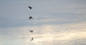 African Pygmy Goose silhouettes