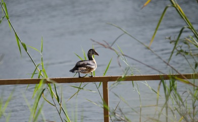 African Pygmy Goose sitting on a raft