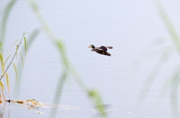 African Pygmy Goose in flight