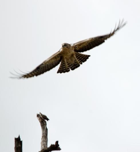 Ayre_s Hawk Eagle Juvenile 16 - Mururani, Namibia