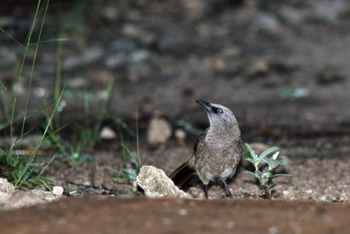 Roy's celebrities, the Black-faced Babblers