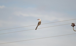 A Damara Red-billed Hornbill on the powerline