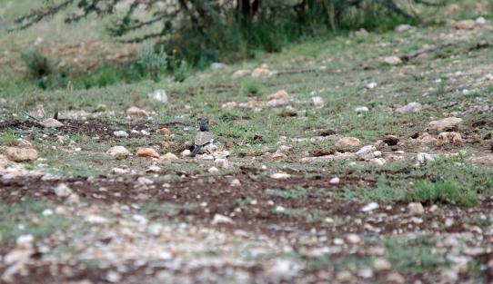 A far away Monteiro's Hornbill