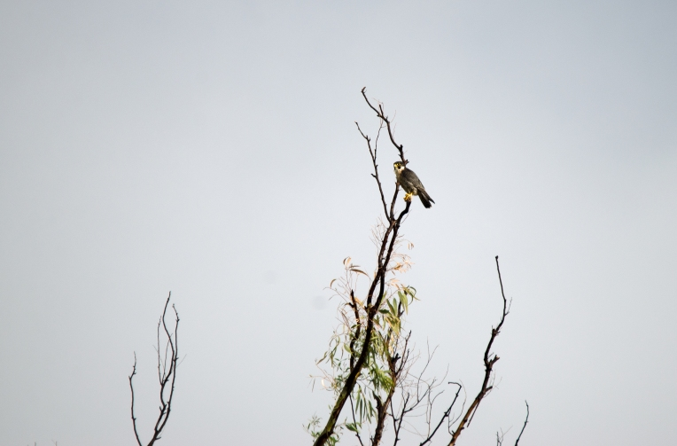 A Peregrine Falcon at Grootfontein
