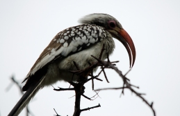 A Red-billed Hornbill giving us the beady eye