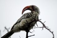 A Red-billed Hornbill glamour shot