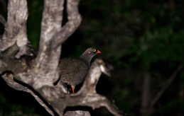 Red-billed Spurfowl take 2
