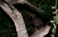 A roosting Red-billed Spurfowl