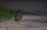 A male Red-billed Spurfowl crossing the road