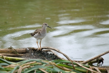 A Ruff feeding on the edge of the sewage pond