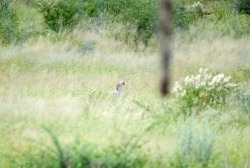 Secretarybird stalking through the grass
