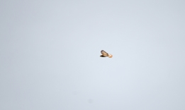 The same Common Buzzard