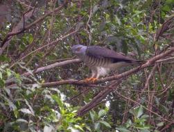A furtive African Cuckoo Hawk