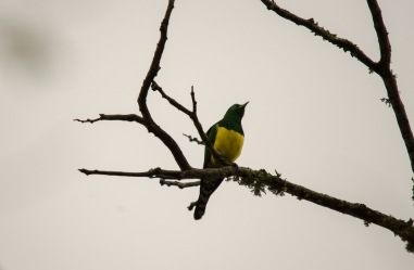 """Pretty Georgie"" says the African Emerald Cuckoo"