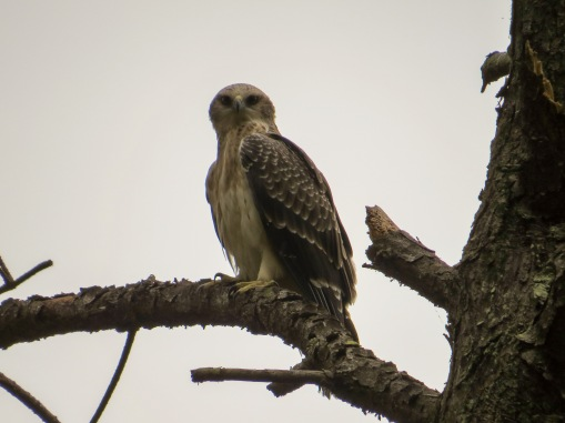 The highlight, a juvenile Ayre's Hawk-eagle