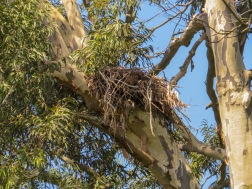 A Crowned Eagle nest