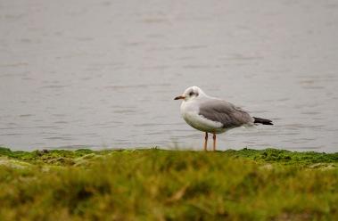 A juvenile Grey-headed Gull at False Bay