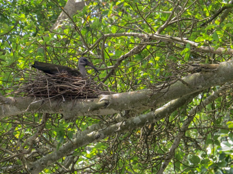 A Hadeda Ibis on its nest over the river
