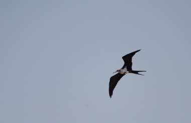 Lesser Frigatebird soaring over