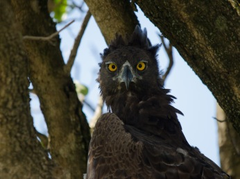 A gorgeous Martial Eagle