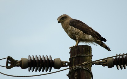 The subject of our surveys, Southern Banded Snake-eagle