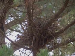 A Yellow-billed Kite nest